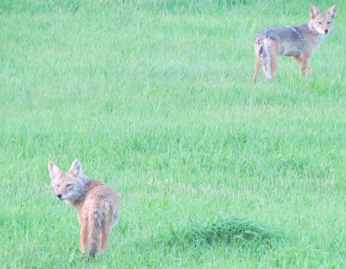 Coyote looking back at us with the same curiosity we were viewing them.